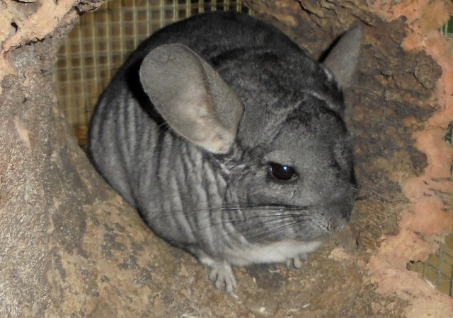 Chinchilla Jacky