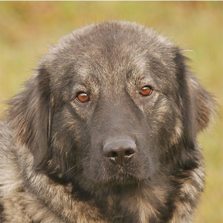 Guyuk Tibetan Mastiff Puppy Susseste Haustiere Haustiere Und